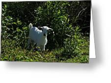 Kid Goat On A Farm Greeting Card
