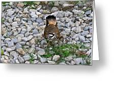 Kildeer And Eggs Greeting Card by Douglas Barnett