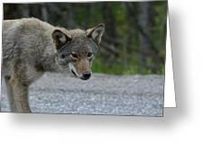Killarney Coyote Greeting Card