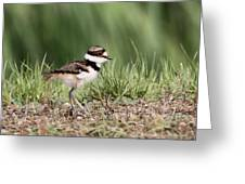 Killdeer - 24 Hours Old Greeting Card