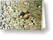Killdeer Broken Wing Act Greeting Card by Douglas Barnett