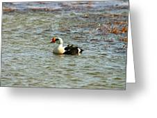 King Eider Greeting Card