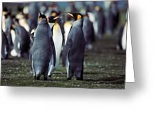 King Penguins Volunteer Point Falkland Islands Greeting Card