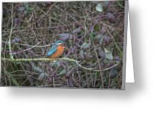 Kingfisher. Greeting Card