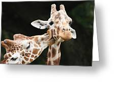 Kissing Giraffes Greeting Card by Buck Forester