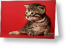 Kitten On Red Greeting Card