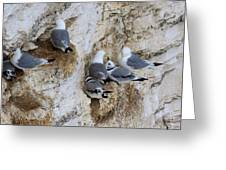 Kittiwakes Tend Their Chicks At Rspb Bempton Cliffs Greeting Card