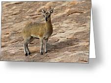 Klipspringer Greeting Card