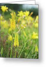 Kniphofia Vesta Flowers Greeting Card