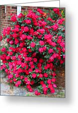 Knockout Red Rosebush Greeting Card