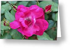 Knockout Rose Surrounded By Buds Greeting Card