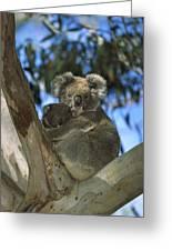 Koala Phascolarctos Cinereus Mother Greeting Card