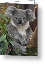 Koala Phascolarctos Cinereus Greeting Card by Zssd