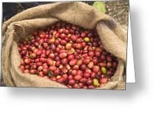 Kona Coffee Bean Harvest Greeting Card