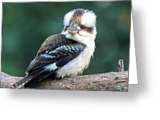Kookaburra Australian Bird Greeting Card