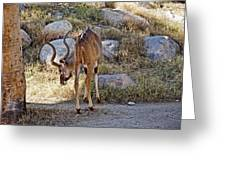 Kudu Near A Waterhole In Living Desert Zoo And Gardens In Palm Desert-california  Greeting Card