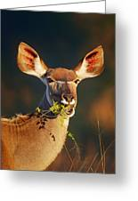 Kudu Portrait Eating Green Leaves Greeting Card