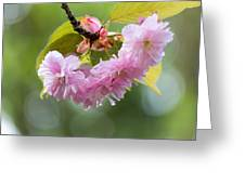 Kwanzan Cherry Bossom Flowers Macro Greeting Card