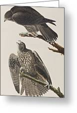 Labrador Falcon Greeting Card