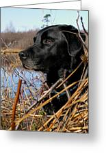 Labrador Retriever Waiting In Blind Greeting Card