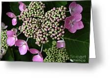 Lacecap Hydrangea Macro Greeting Card