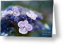 Lacecap Hydrangea Macrophylla Serrata Greeting Card