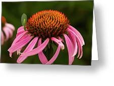 Lacewing On Echinacea Blossom Greeting Card