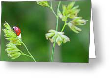 Lady Bird On A Herb Straw Close Up Greeting Card