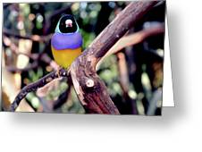 Lady Gouldian Finch Greeting Card