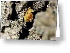 Ladybug Eggs Greeting Card
