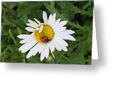 Ladybug On Daisy Greeting Card