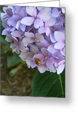 Ladybug On Hydrangea Greeting Card