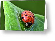 Ladybug With Dew Drops Greeting Card