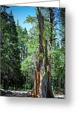 Lake Tahoe Tree Greeting Card
