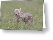 Lamar Valley Coyote Greeting Card