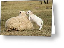 Lamb Jumping On Mom Greeting Card