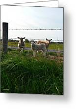 Lambs Behind The Wire Greeting Card