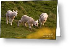 Lambs On The Meadow Greeting Card