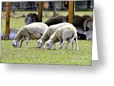 Lambswool Greeting Card