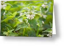 Lamium Album White Flowers Macro Greeting Card
