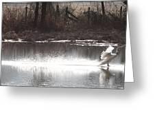 Landing Trumpeter Swans Greeting Card