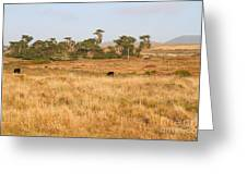 Landscape With Cows Grazing In The Field . 7d9957 Greeting Card