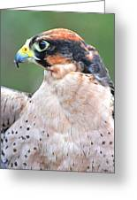 Lanner Falcon Greeting Card