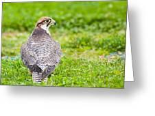 Lanner Falcon Greeting Card