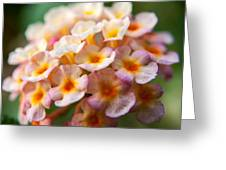 Lantana-1 Greeting Card