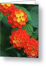 Lantana Bandana Red Flower Greeting Card