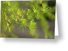 Larch Branch And Foliage Greeting Card