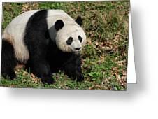 Large Black And White Giant Panda Bear Sitting Greeting Card