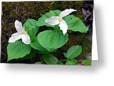 Large Flower Trillium Pair Greeting Card