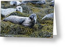 Large Harbor Seal Colony In Scotland Greeting Card